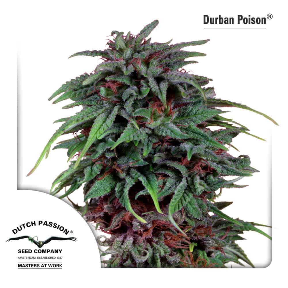 Durban Poison by Dutch Passion