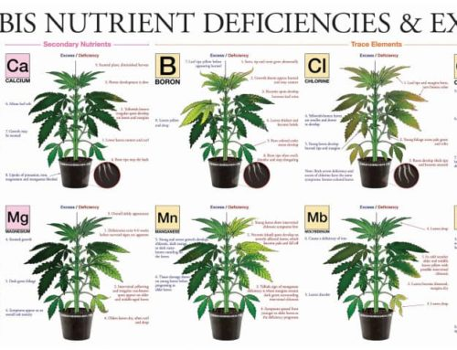 Diagnose and Fix Cannabis Nutrient Deficiency in Canada